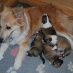 Fold en pups